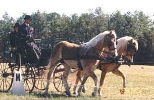 From the archives, driving a pair of Haflingers at a CDE in Florida.